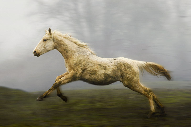 A muddy palomino sport horse healing gallops across the field on a foggy day at down.