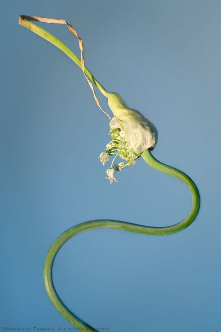 Snake garlic allium blossoms on a twisting, bending green stem.