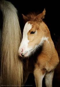 A three day old chesnut roan Adalusian filly foal with a bald face stands at her mother's tail.
