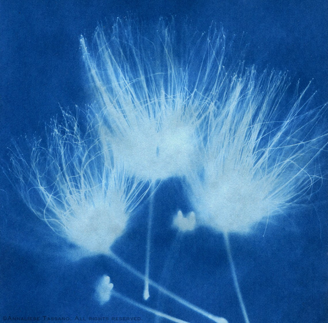 A blue solar print of three mimosa blossoms.