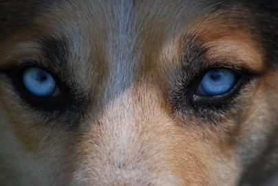 Ini adalah kasus yang jarang terjadi di mana anjing memecahkan pembunuhan.