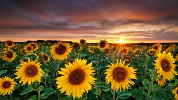 Magic-Landscape-Sunflower-Garden_1920x1080