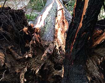 Image of cracked tree for tree risk assessment for Apical Tree Care West Vancouver BC