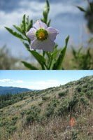 Parish's horse-nettle and its habitat in the Applegate Watershed of southwestern Oregon