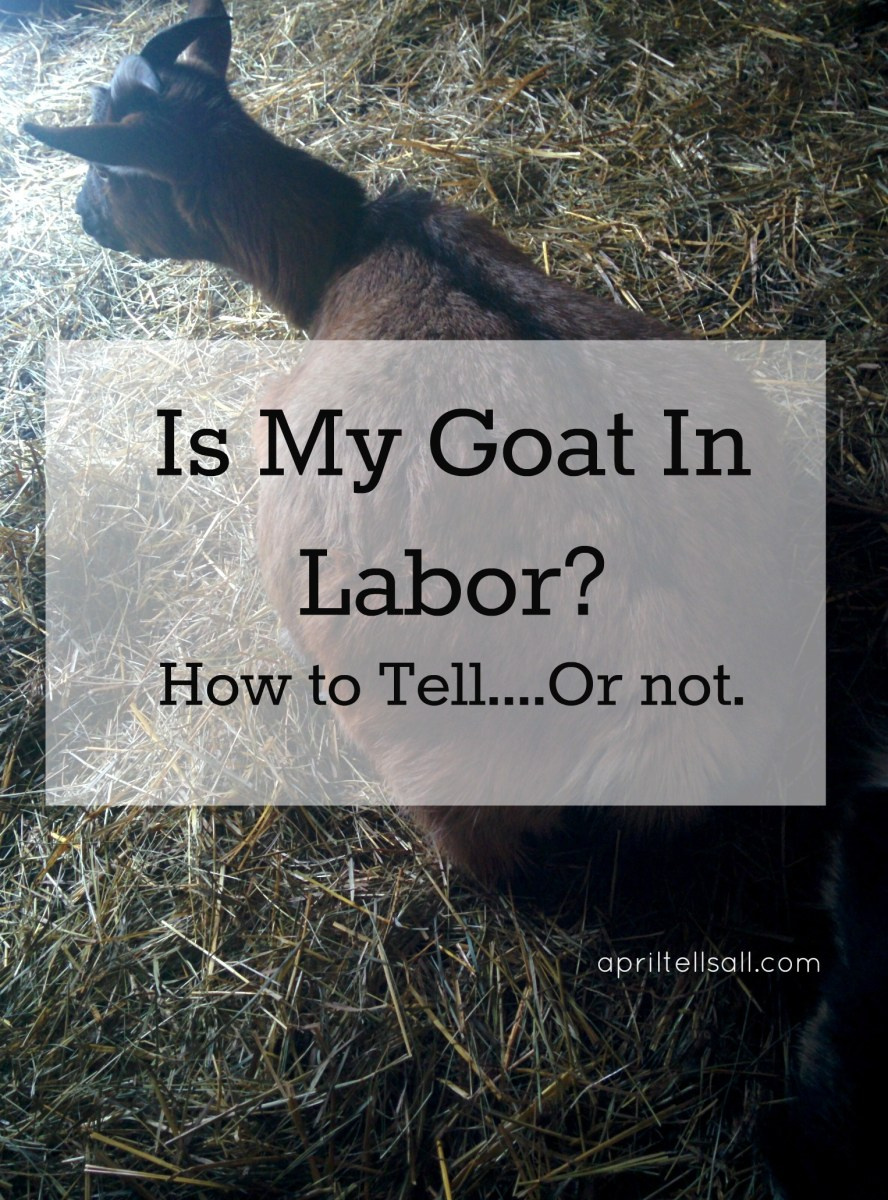 Is My Goat In Labor? {How To Tell...Or Not}