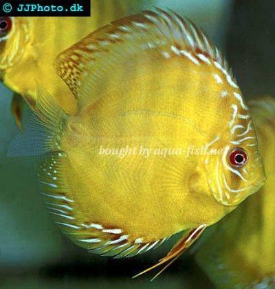 Symphysodon aequifasciata alenquer   Discus