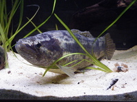 general tropical fish 14 hoplias malabaricus wolf fish for sale