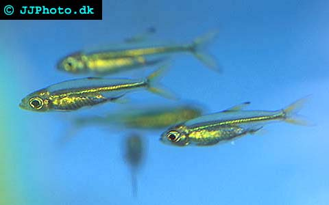 Picture of Jelly Bean Tetra   Ladigesia roloffi. Copyright www.jjphoto
