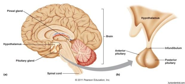 موقع الغدة النخامية في الدماغ وتشريحها