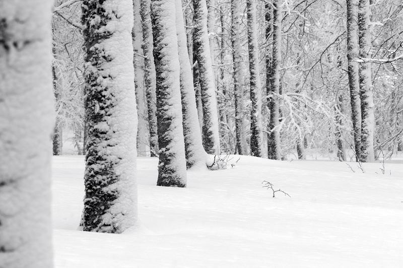 aralar-embor_elurtutak-troncos _nevados