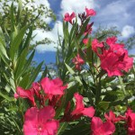 Or maybe this is oleander?
