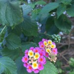 Lantana, and I think this is a native plant.