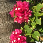 Bougainvillea perhaps?