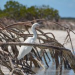 this Great Egret regally stationed among the mangroves,