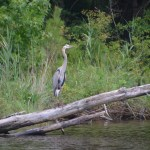 Many species of heron - here's a stately blue heron eying us.