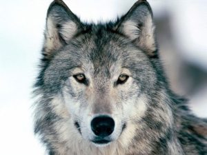 wolf photo 300x225 Crying Wolf: A Misguided Canine Extermination Campaign or Sheep Protection?