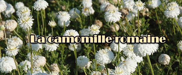 Les bienfaits de la camomille romaine