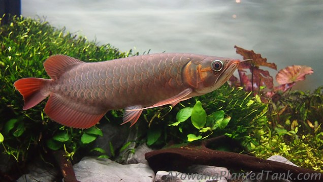 Gan Red+ Asian Arowana in Planted Tank