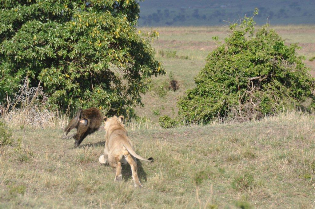 Baboon versus Lion on Kenyan Safari