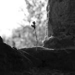 Blume im leeren Fenster einer Burgruine