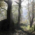 Bergahorn im Morgennebel