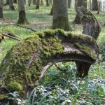 Bemooster Eichenast am Waldboden