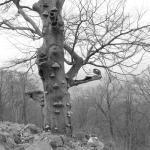Alte Rotbuche auf dem Basaltkegel des Kleinen Gleichberges