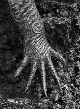 salgado-1-genesis-iguana