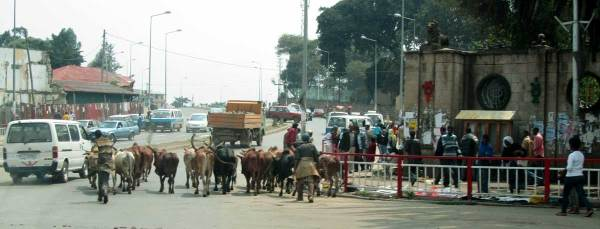 cows in the streets of addis ababa