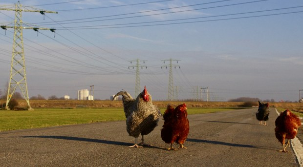 chickens walking on road
