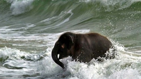 Elephant at sea