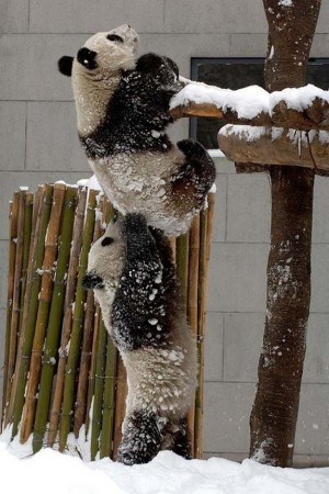 Panda weight lifting