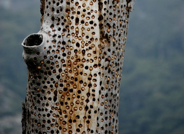 woodpecker trypophobia