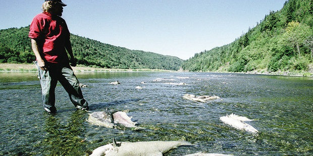 Biologist at 2002 Klamath fish kill