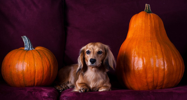dog with pumpkins