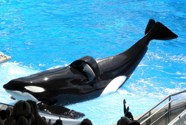 Tilikum at Sea World with collapsed dorsal fin