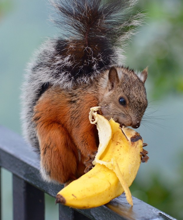 Squirrel appreciation day: They don't transmit diseases.