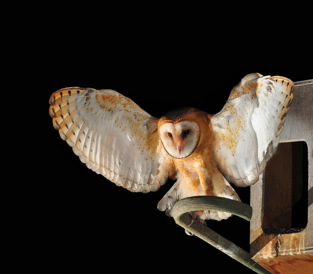 Photopin photo of barn owl