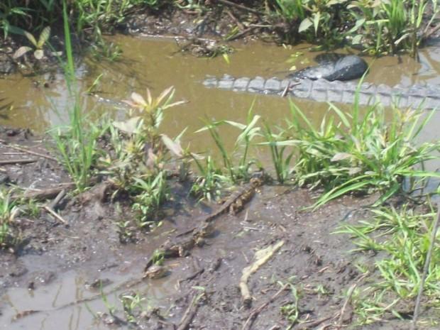 A wild gator and her newborns