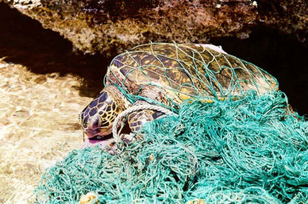 Turtle entangled in ghost net