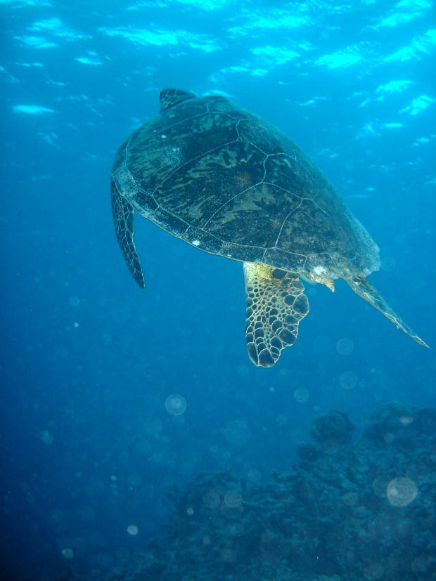 Photo: Green Sea Turtle