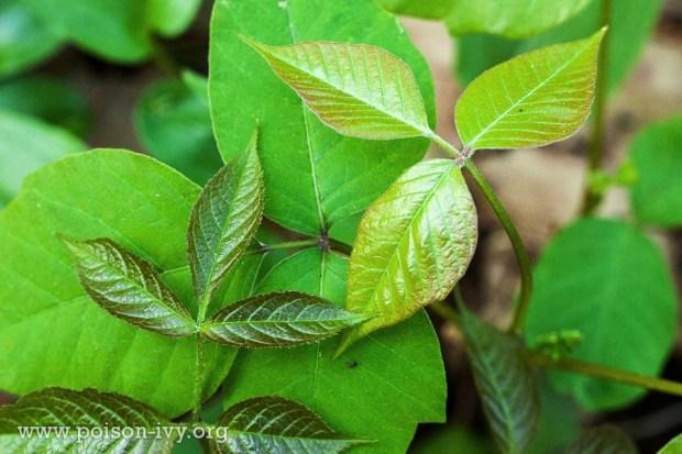 Poison Ivy.org