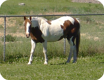 Pinto Pony Selah 6 8 13