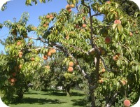 Peaches # 1 2013