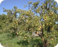 Pears #1 2013