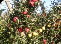 Apples 2014 2