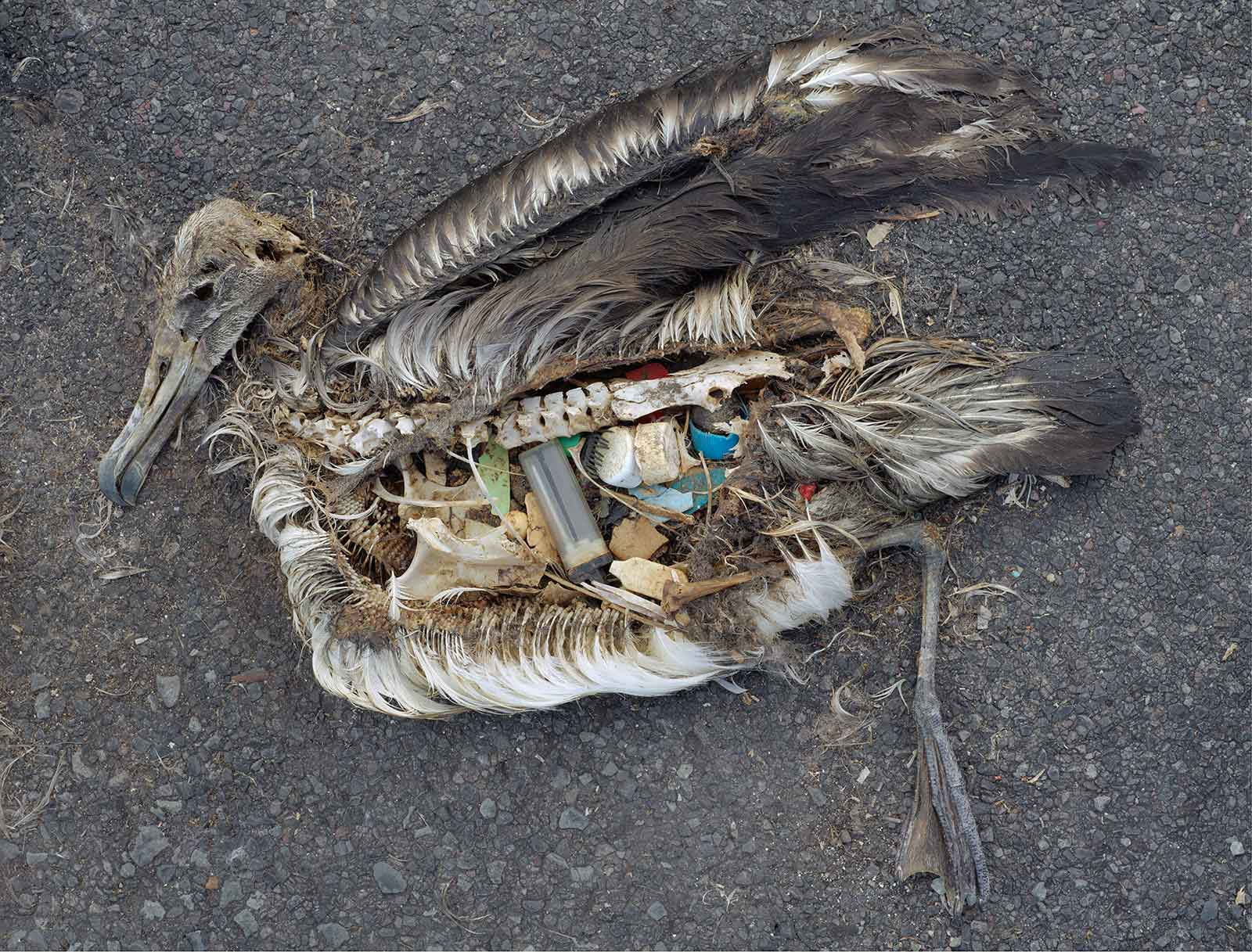 carcass of baby albatross with plastic in gut