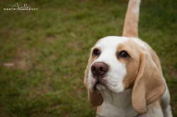 Small Of Do Beagles Shed