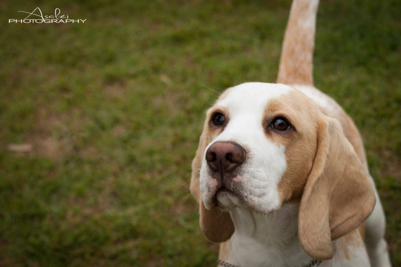 Large Of Do Beagles Shed