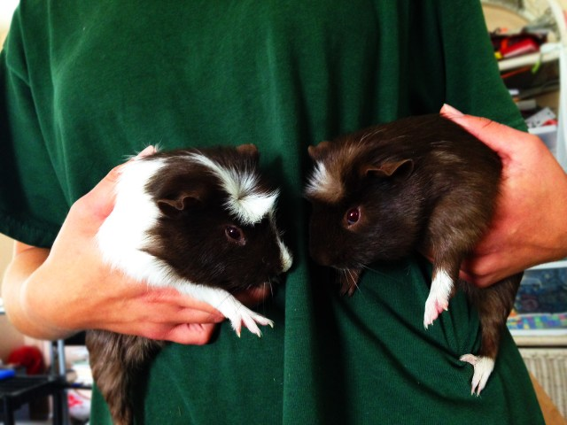 Two brown and white Rosette guinea pigs being held